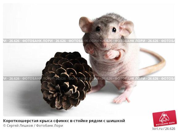 Короткошерстая крыса сфинкс в стойке рядом с шишкой, фото № 26626, снято 18 марта 2007 г. (c) Сергей Лешков / Фотобанк Лори