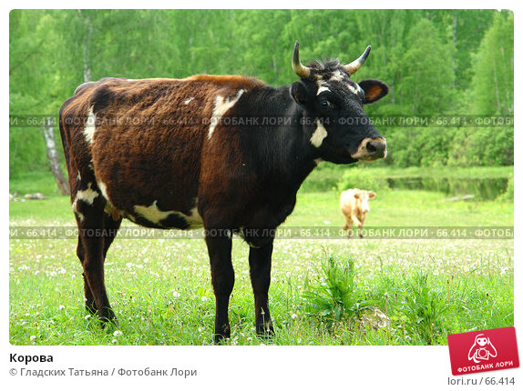 Купить «Корова», фото № 66414, снято 11 июня 2007 г. (c) Гладских Татьяна / Фотобанк Лори