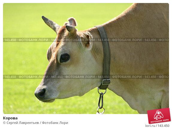 Корова, фото № 143450, снято 21 июня 2004 г. (c) Сергей Лаврентьев / Фотобанк Лори