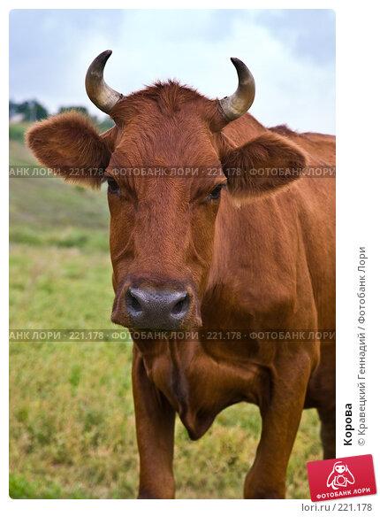 Корова, фото № 221178, снято 11 августа 2004 г. (c) Кравецкий Геннадий / Фотобанк Лори