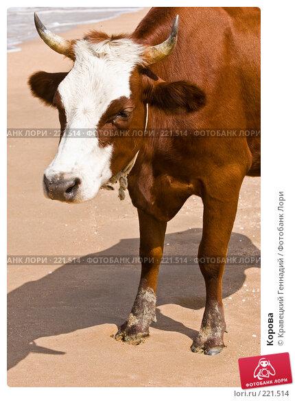 Корова, фото № 221514, снято 16 августа 2005 г. (c) Кравецкий Геннадий / Фотобанк Лори