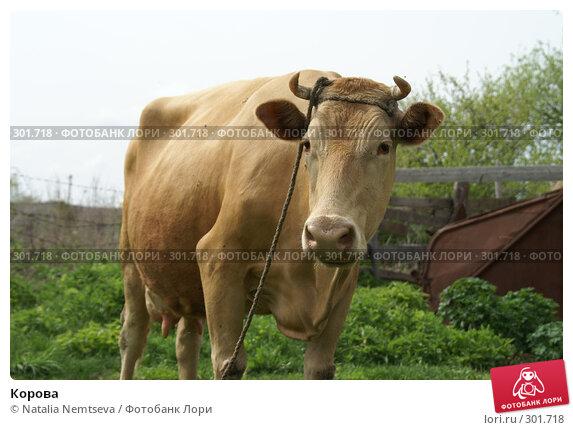 Корова, эксклюзивное фото № 301718, снято 10 мая 2008 г. (c) Natalia Nemtseva / Фотобанк Лори
