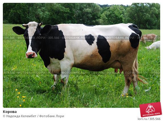 Корова, фото № 305566, снято 31 мая 2008 г. (c) Надежда Келембет / Фотобанк Лори