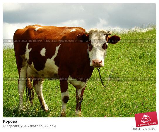 Корова, фото № 307330, снято 31 мая 2008 г. (c) Карелин Д.А. / Фотобанк Лори