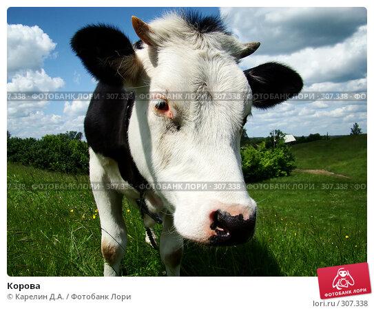 Корова, фото № 307338, снято 31 мая 2008 г. (c) Карелин Д.А. / Фотобанк Лори