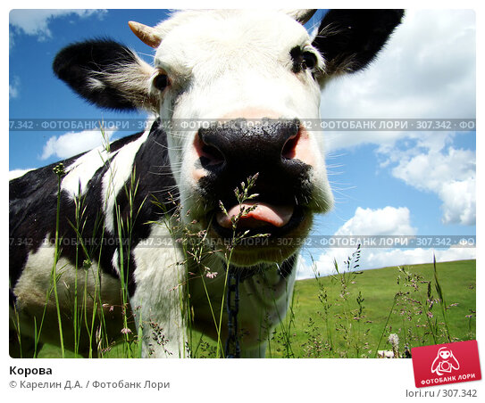 Корова, фото № 307342, снято 31 мая 2008 г. (c) Карелин Д.А. / Фотобанк Лори