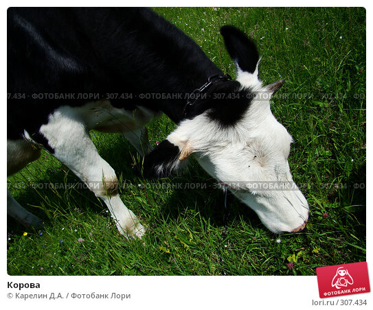 Корова, фото № 307434, снято 31 мая 2008 г. (c) Карелин Д.А. / Фотобанк Лори