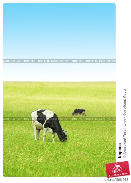 Корова, фото № 308918, снято 26 мая 2008 г. (c) Анатолий Типляшин / Фотобанк Лори