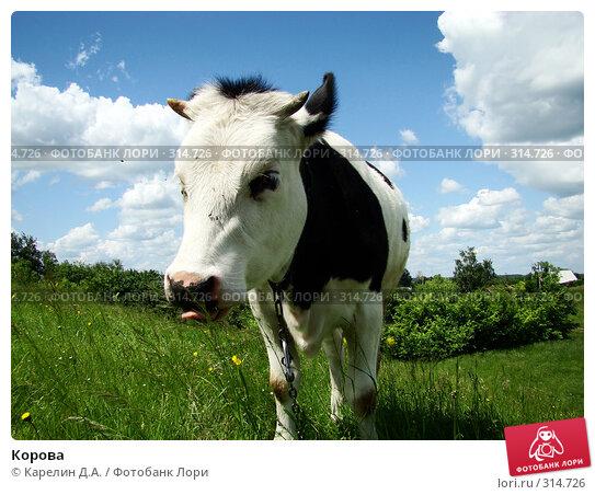 Корова, фото № 314726, снято 31 мая 2008 г. (c) Карелин Д.А. / Фотобанк Лори