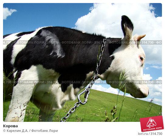 Купить «Корова», фото № 314730, снято 31 мая 2008 г. (c) Карелин Д.А. / Фотобанк Лори
