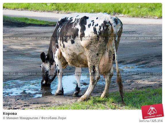 Корова, фото № 325314, снято 2 июня 2008 г. (c) Михаил Мандрыгин / Фотобанк Лори