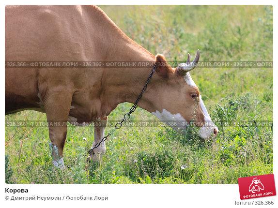 Корова, эксклюзивное фото № 326366, снято 12 июня 2008 г. (c) Дмитрий Неумоин / Фотобанк Лори