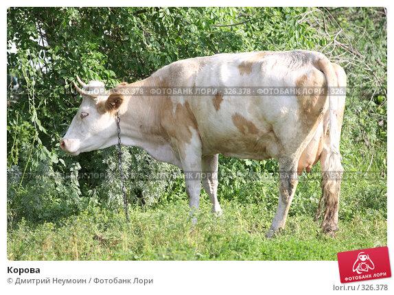 Корова, эксклюзивное фото № 326378, снято 12 июня 2008 г. (c) Дмитрий Неумоин / Фотобанк Лори