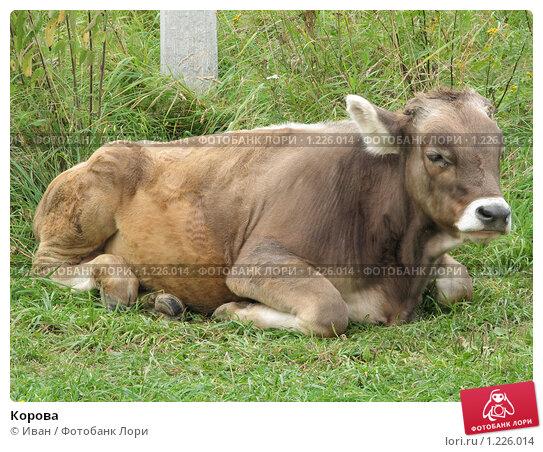 Купить «Корова», фото № 1226014, снято 20 августа 2009 г. (c) Иван / Фотобанк Лори