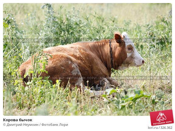 Корова бычок, эксклюзивное фото № 326362, снято 12 июня 2008 г. (c) Дмитрий Неумоин / Фотобанк Лори