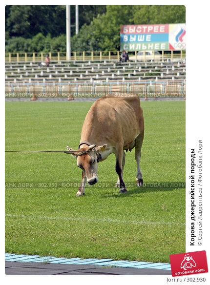 Корова джерсийской породы, фото № 302930, снято 21 июня 2004 г. (c) Сергей Лаврентьев / Фотобанк Лори