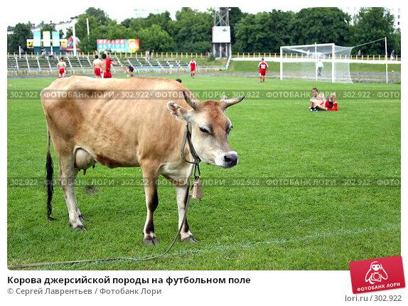 Корова джерсийской породы на футбольном поле, фото № 302922, снято 21 июня 2004 г. (c) Сергей Лаврентьев / Фотобанк Лори