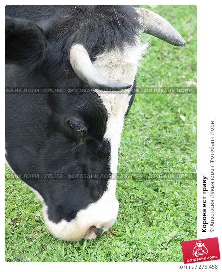 Корова ест траву, фото № 275458, снято 22 октября 2006 г. (c) Анастасия Лукьянова / Фотобанк Лори