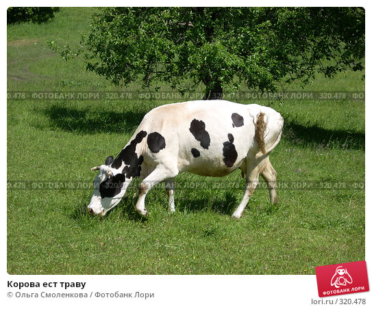 Корова ест траву, фото № 320478, снято 7 июня 2008 г. (c) Ольга Смоленкова / Фотобанк Лори