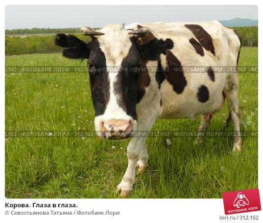 Корова. Глаза в глаза., фото № 312162, снято 24 мая 2008 г. (c) Севостьянова Татьяна / Фотобанк Лори