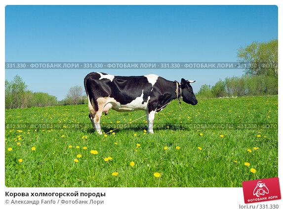 Корова холмогорской породы, фото № 331330, снято 25 июля 2017 г. (c) Александр Fanfo / Фотобанк Лори