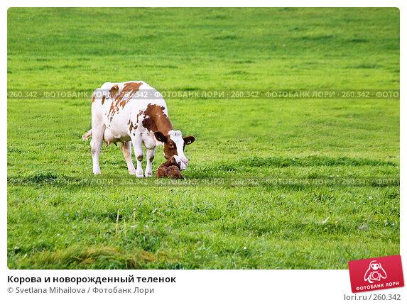 Корова и новорожденный теленок, фото № 260342, снято 12 сентября 2007 г. (c) Svetlana Mihailova / Фотобанк Лори