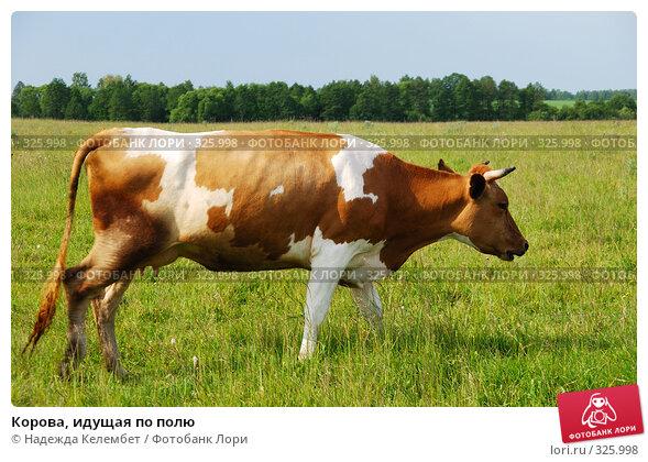 Корова, идущая по полю, фото № 325998, снято 12 июня 2008 г. (c) Надежда Келембет / Фотобанк Лори