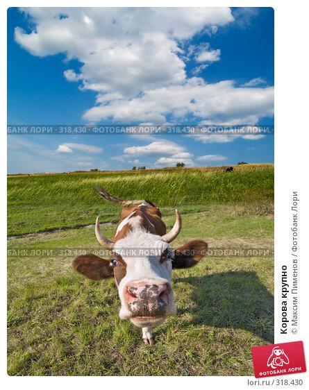 Корова крупно, фото № 318430, снято 27 апреля 2008 г. (c) Максим Пименов / Фотобанк Лори