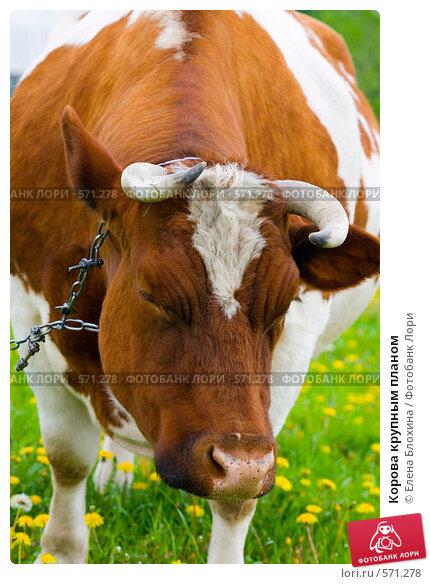 фото коровы крупным планом