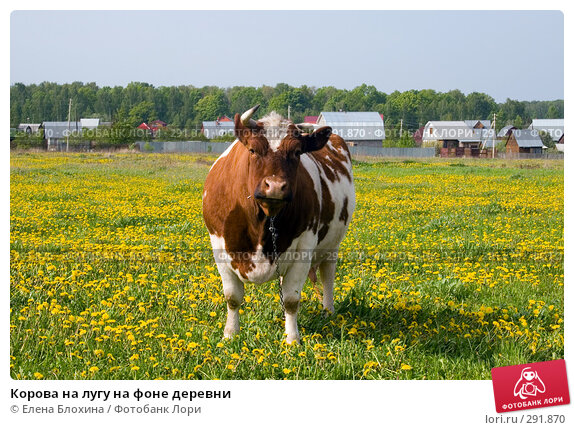 Купить «Корова на лугу на фоне деревни», фото № 291870, снято 19 мая 2008 г. (c) Елена Блохина / Фотобанк Лори