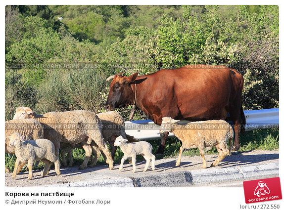 Корова на пастбище, эксклюзивное фото № 272550, снято 23 апреля 2008 г. (c) Дмитрий Неумоин / Фотобанк Лори