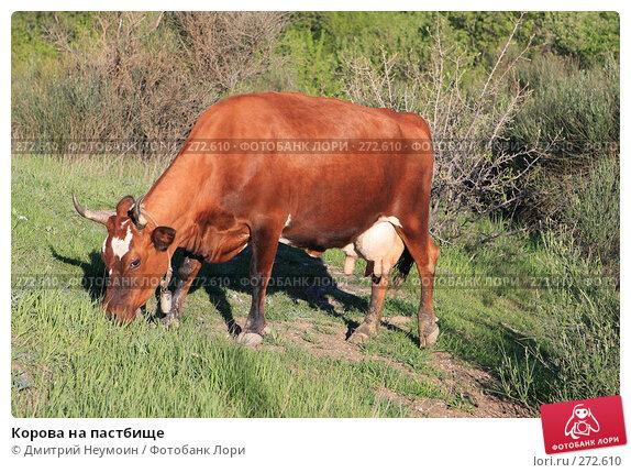 Корова на пастбище, эксклюзивное фото № 272610, снято 23 апреля 2008 г. (c) Дмитрий Неумоин / Фотобанк Лори