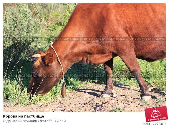 Купить «Корова на пастбище», эксклюзивное фото № 272614, снято 23 апреля 2008 г. (c) Дмитрий Неумоин / Фотобанк Лори