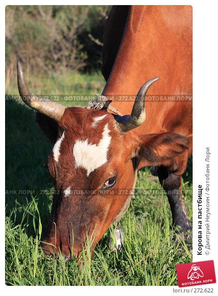 Купить «Корова на пастбище», эксклюзивное фото № 272622, снято 23 апреля 2008 г. (c) Дмитрий Неумоин / Фотобанк Лори