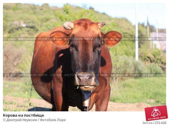 Корова на пастбище, эксклюзивное фото № 272626, снято 23 апреля 2008 г. (c) Дмитрий Неумоин / Фотобанк Лори