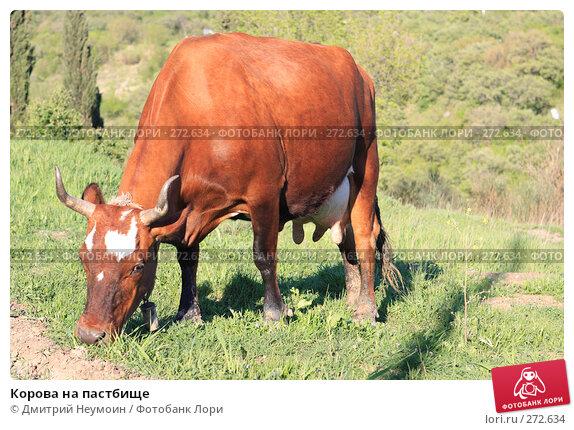 Корова на пастбище, эксклюзивное фото № 272634, снято 23 апреля 2008 г. (c) Дмитрий Неумоин / Фотобанк Лори