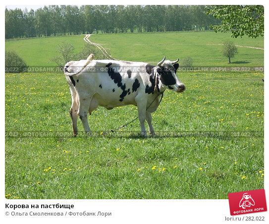 Корова на пастбище, фото № 282022, снято 12 мая 2008 г. (c) Ольга Смоленкова / Фотобанк Лори