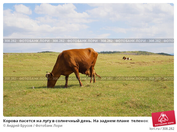 Корова пасется на лугу в солнечный день. На заднем плане  теленок, фото № 308282, снято 26 июля 2017 г. (c) Андрей Брусов / Фотобанк Лори