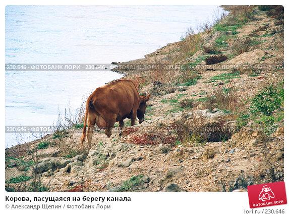 Корова, пасущаяся на берегу канала, эксклюзивное фото № 230646, снято 27 сентября 2007 г. (c) Александр Щепин / Фотобанк Лори