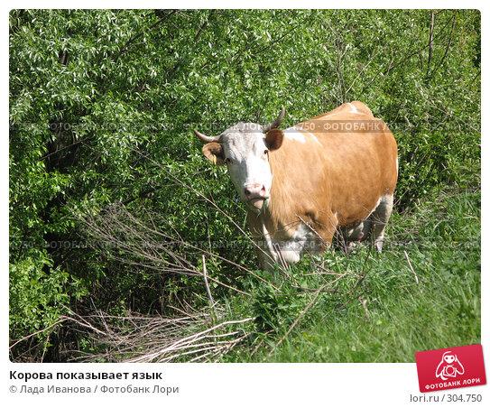 Корова показывает язык, фото № 304750, снято 9 мая 2008 г. (c) Лада Иванова / Фотобанк Лори