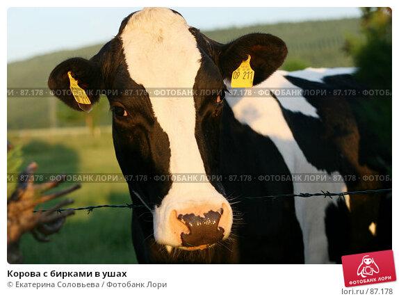 Корова с бирками в ушах, фото № 87178, снято 31 мая 2007 г. (c) Екатерина Соловьева / Фотобанк Лори