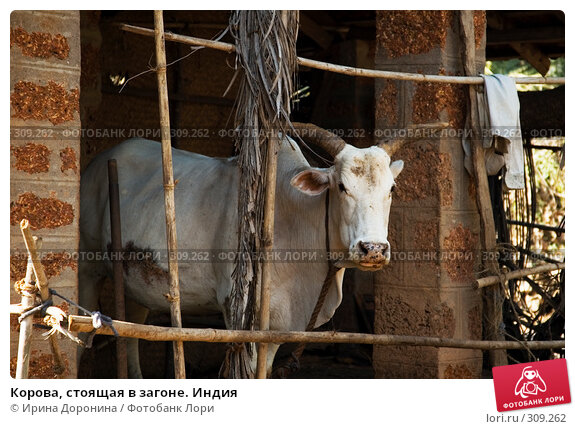 Корова, стоящая в загоне. Индия, фото № 309262, снято 1 января 2008 г. (c) Ирина Доронина / Фотобанк Лори