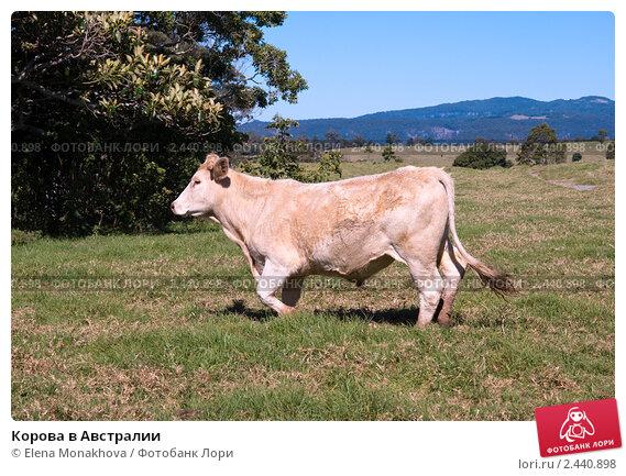 Купить «Корова в Австралии», фото № 2440898, снято 16 августа 2010 г. (c) Elena Monakhova / Фотобанк Лори