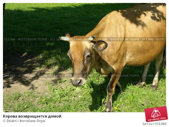 Корова возвращается домой, фото № 313066, снято 6 июня 2008 г. (c) ZitsArt / Фотобанк Лори