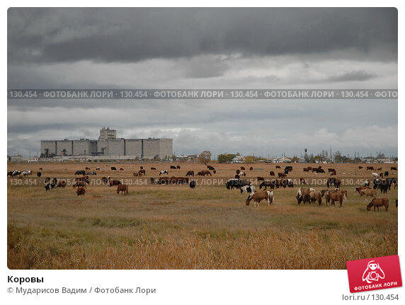 Коровы, фото № 130454, снято 1 октября 2007 г. (c) Мударисов Вадим / Фотобанк Лори