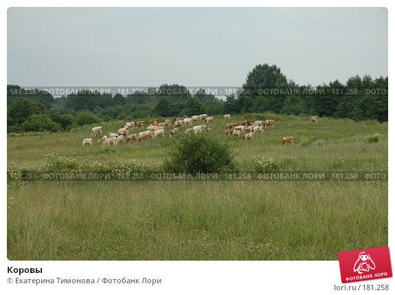 Купить «Коровы», фото № 181258, снято 12 июля 2006 г. (c) Екатерина Тимонова / Фотобанк Лори