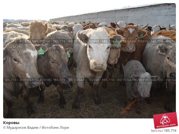 Коровы, фото № 185774, снято 24 января 2008 г. (c) Мударисов Вадим / Фотобанк Лори