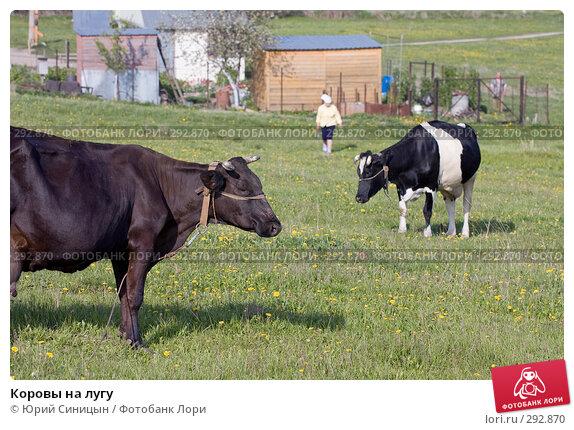 Купить «Коровы на лугу», фото № 292870, снято 18 мая 2008 г. (c) Юрий Синицын / Фотобанк Лори