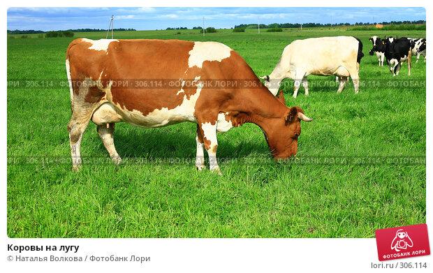 Коровы на лугу, эксклюзивное фото № 306114, снято 1 июня 2008 г. (c) Наталья Волкова / Фотобанк Лори