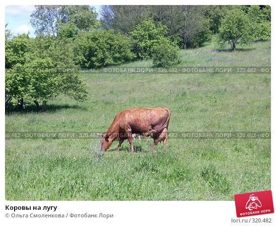 Коровы на лугу, фото № 320482, снято 7 июня 2008 г. (c) Ольга Смоленкова / Фотобанк Лори